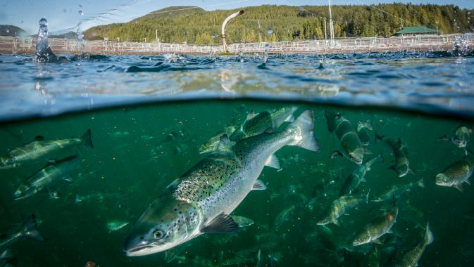Sustainable Salmon Farming